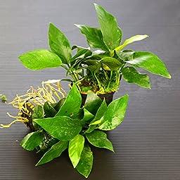 Aubias Barteri Nana 40~50 leaves - Live aquaric plant fish tank(The plant pot excluded)**No pesticides**
