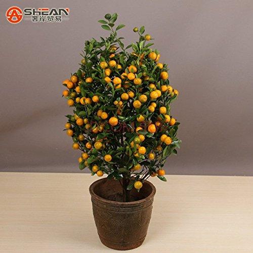 loss-promotion-sale-100pcs-edible-fruit-mandarin-indoor-bonsai-tree-seeds-citrus-bonsai-mandarin-ora