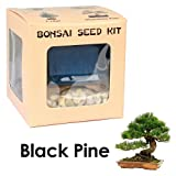 Eves Black Pine Bonsai Seed Kit, Woody, Complete Kit to Grow Black Pine Bonsai Tree from Seed