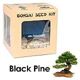 Eves Black Pine Bonsai Seed Kit, Woody, Complete Kit to Grow Black Pine Bonsai Tree from Seed