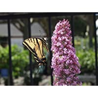 'Pink Delight' Butterfly Bush - Buddleia - Perennial - 4