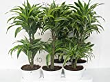 Dracaena comp.Surprise