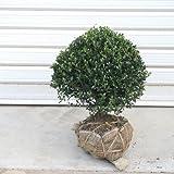 庭木:キンメツゲ(玉作り) W:約30-40cm