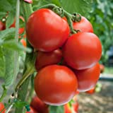 Biocarve Tomato Round - Pack of 100 seeds