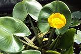 Nuphar lutea - Teichrose gelb