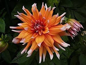 Color Spectacle Cactus Dahlia Tuber - Orange with White Tips