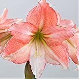 Amaryllis Bulb Pink Amaryllis Tinkerbell - 26/28cm Bulb - Outstanding Indoor Blooms from Easy to Grow TM (Color: Tinkerbell)
