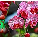Free Ship Hydroponic Orchid Seeds,indoor Flowers Bonsai Four Seasons,Phalaenopsis Orchids - 40 Seeds Seeds - B01LXCDWWT