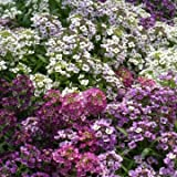 Alyssum Mix 200 Flower Seeds/MULTI-BUY DISCOUNT/Bright & cheerful perfect for ground cover & pots