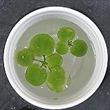 [水草 浮き草] アマゾンフログビット