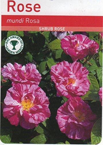 rosa-mundi-shrub-rose-scented