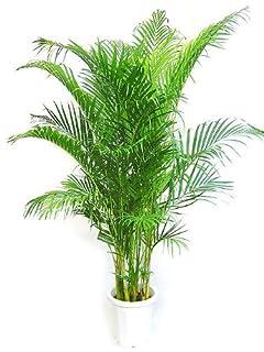 アレカヤシは部屋をおしゃれに演出してくれる観葉植物