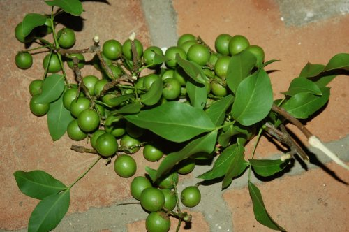 Quenepa, spanish lime, genip, guinep, genipe, or mamoncillo - 4 Seeds qty pack