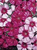 Flower - Dianthus - Corona Cherry Magic F1- 20 Seeds