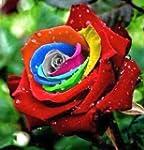 Exotic Plants Rose arc-en-couleur - 1...