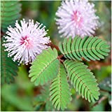 "Package of 100 Seeds, Sensitive Plant ""Compact Growth"" (Mimosa Pudica) Non-GMO Seeds by Seed Needs"