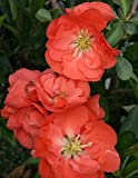 Amazon / Hirts: Quince: Double TakeTM Chaenomeles Orange Storm PPAF - Flowering Quince - Proven Winners