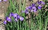 50 BLUE FLAG IRIS Versicolor Flower Seeds *Comb S/H