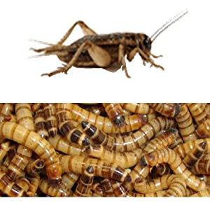 250 Live Superworms and 250 Live Crickets any size-Combo