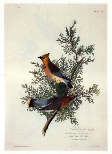 Audubon Cedar Bird Bird Art Print  7 in x 10 in Unmatted Picture