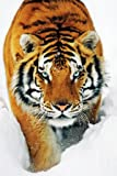 (24x36) Tiger Snow Art Print Poster
