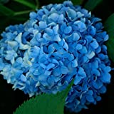 Nikko Blue Hydrangea Shrub-Bare Root-Healthy Plant- 2 pack
