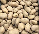 10 International Kidney Second Early Seed Potatoes