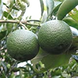【柑橘 苗木】カボス 13.5cmポット苗