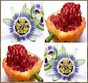 15 Passionfruit Passion FRUIT Blue Flower Seeds Passiflora caerulea ~ FRAGRANT~