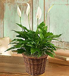 Spathiphyllum Plant for Sympathy Small by 1-800 Flowers