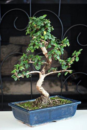 9greenbox-10-ceramic-vase-imported-flowering-fukien-tea-indoor-bonsai-tree-flowering-by-fukien-10