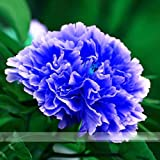 (LBTP @No511) 5 Seeds / Pack, Double Light Blue Tree Peony Seeds, 'Noble' Rare Peony Tree Plant