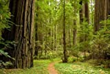 Sky Wall Decals Path through the Redwood Forest. - 24 inches x 16 inches - Peel and Stick Removable Graphic