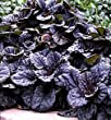 Mahogany Bugleweed Ajuga Ground Cover Plants (1 order contains 2 potted plants)