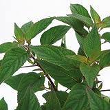 Bio Ananassalbei Kräuterpflanze