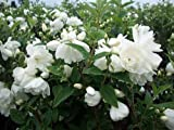 "Dwarf Snow White Mockorange - Philadelphus - Potted - Compact - 4"" Pot"