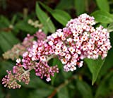InSpired TM Pink Butterfly Bush - Buddleia - Proven Winners - 1 Quart Pot