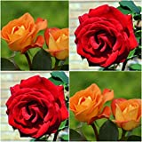 (Combo Of 2 Colors) Floral Treasure Red & Orange Rose Seeds - Pack Of 20