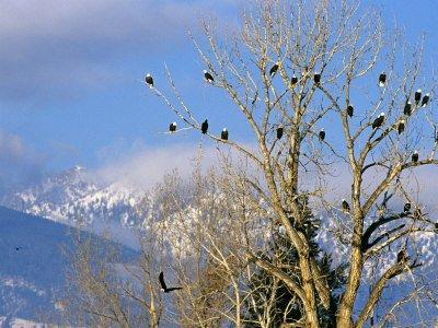 Bald Eagles in the Bitterroot Valley near Hamilton, Montana