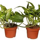 Efeutute 2 Pflanzen