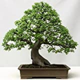 Chinese Elm Bonsai Seeds by National Gardens