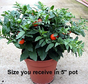 Jerusalem Cherry Plant - Solanum - Great Holiday Gift! - Buy Jerusalem Cherry Plant - Solanum - Great Holiday Gift! - Purchase Jerusalem Cherry Plant - Solanum - Great Holiday Gift! (House Plant, Home & Garden,Categories,Patio Lawn & Garden,Plants & Planting,Outdoor Plants,Fruit Plants & Trees)