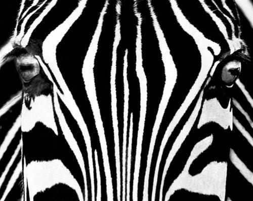 Rocco Sette Zebra