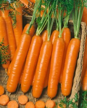 Little Finger Carrot Seeds - Daucus Carota Var. Sativus 500+ Gardening Seeds -Fun For Kids -By Seeds And Things Free Shipping