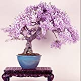 Brand New! Lilac mini bonsai wisteria tree seeds Indoor ornamental plants - 10 particles