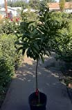 Clementine Mandarin Orange Tree Five Gallon