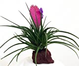Hawaiian Pink Quill Volcano Plant - Exotic & Easy to Grow