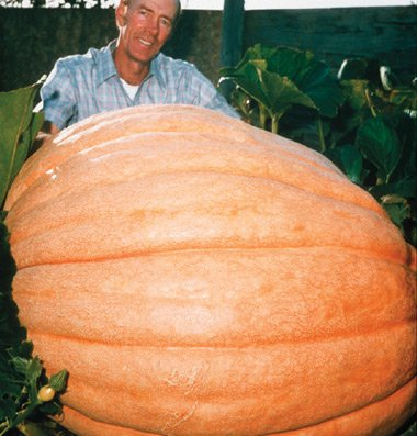 Pumpkin Dill's Atlantic Giant D602A (Orange) 15 Open Pollinated Seeds by David's Garden Seeds