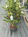 Araucaria Araucana 'Monkey puzzle Tree' 7.5 Litre
