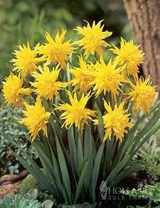 Amazon.com : Rip Van Winkle Specie Daffodil : Patio, Lawn & Garden